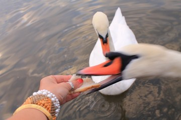 snatching swan
