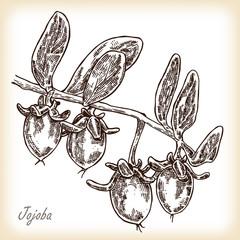 Jojoba fruit. Hand drawn vector illustration in sketch style
