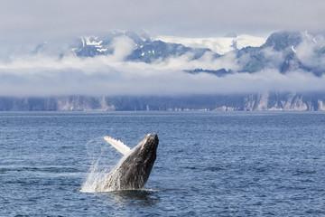 USA, Alaska, Seward, Resurrection Bay, springender Buckelwal (Megaptera novaeangliae)