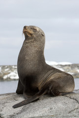 fur seal sitting on a rock with her eyes closed