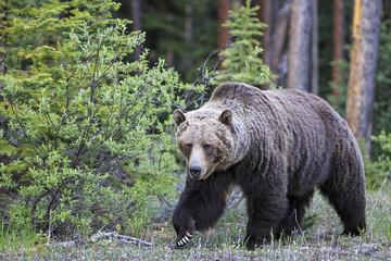 Kanada, Alberta, Jasper und Banff Nationalpark, Grizzly Bär