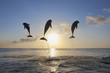 Honduras, Bay Islands, Roatan, drei Große Tümmler (Tursiops truncatus) in die Luft springend