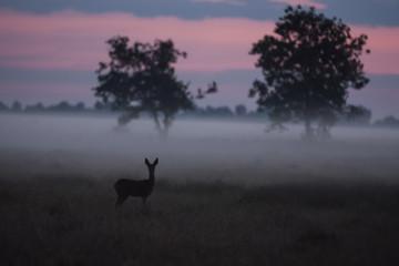 Deutschland, Nordrhein-Westfalen, Recker Moor, Landschaft mit Rehen am Morgen