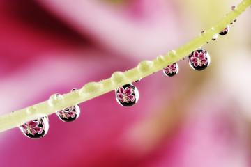 Wassertropfen mit Reflexionen hängen an Lilie
