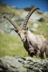 Österreich, Grossglockner, Alpensteinbock, Capra ibex