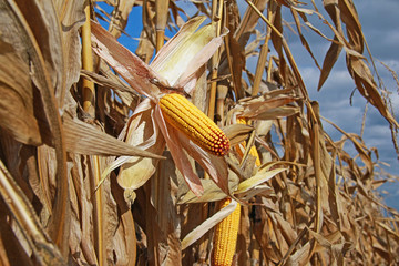 Ripe corn in the field is dry and ready for harvest