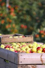 Deutschland, Hamburg, Altes Land, Apfelernte, Holzkiste mit Äpfeln