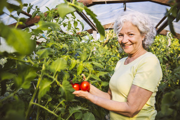 Frau bewundert reife Tomaten im Gewächshaus