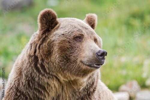 Fotobehang Dragen grizzly bear
