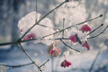 Schnee bedeckt Spindelbaum (Evonymus Europäische), close-up