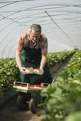 Deutschland, Hessen, Lampertheim, Landwirt, Ernte, Erdbeeren im Gewächshaus