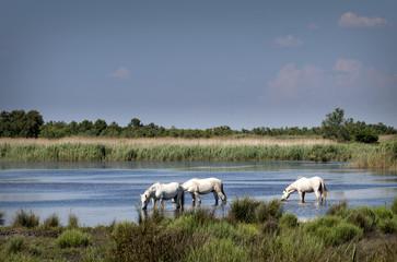 Frankreich, Camargue, Camargue-Pferde im Wasser