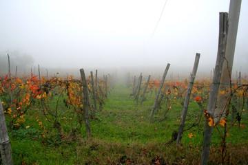 viti nella nebbia