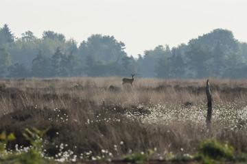 Deutschland, Nordrhein-Westfalen, Recker Moor, Landschaft mit Reh