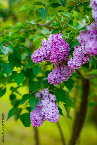 Foto Spatwand Lilac lilac bushes. flowers close up