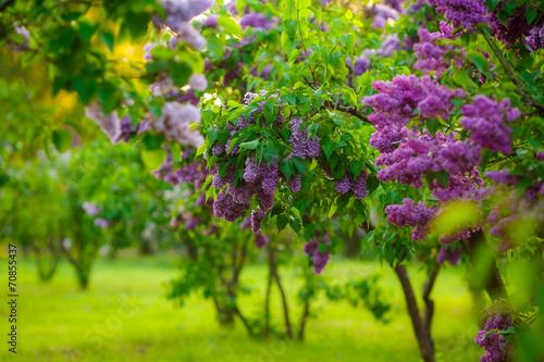 Plexiglas Lilac lilac bushes. flowers close up