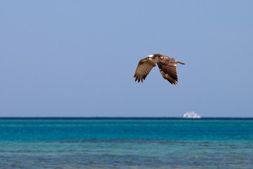 Osprey flying over the sea