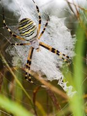 European Wasp spider, Argiope bruennichi in web, habitat.