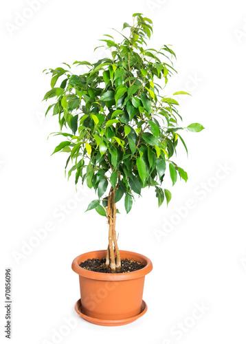 Papiers peints Vegetal Ficus benjamina in flowerpot
