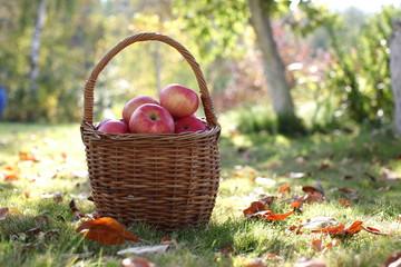 Harvest, apples in basket