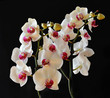 canvas print picture - orchidee bianche
