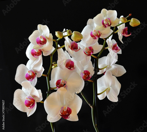 canvas print picture orchidee bianche