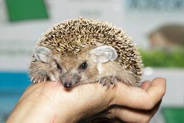 Hemiechinus auritus, Long-eared hedgehog
