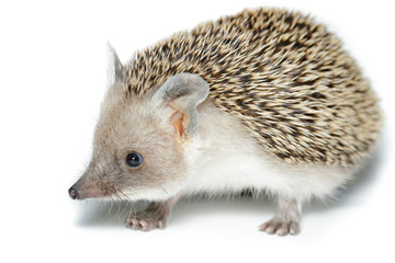 Hemiechinus auritus, Long-eared hedgehog