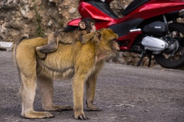 Berberaffe trägt Affenbaby auf dem Rücken