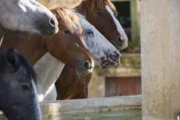 cavalli che si dissetano