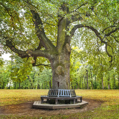 old oak in the park