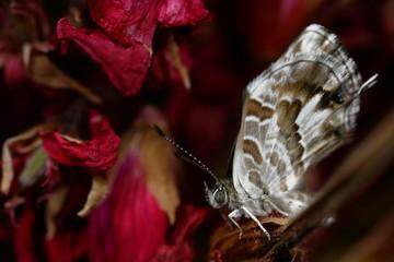 Papillon de profil