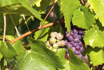 Bunches of grapes at a vineyard.