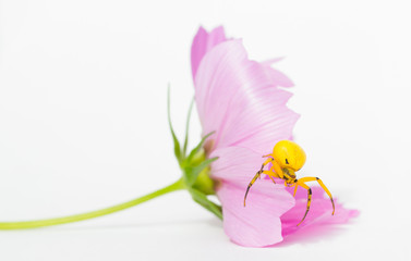 Yellow Flower Crab Spider on Cosmos