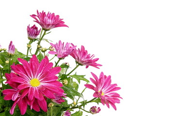 Pink chrysanthemum flower, right you can write some text