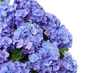 Beautiful blue hydrangea flower, left you can write some text