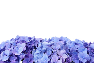 Blue hydrangea flower, over the flower you can write some text
