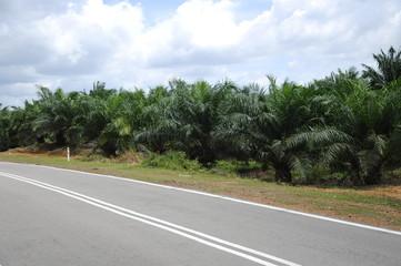 Oil palm tree in Oil Palm Estate
