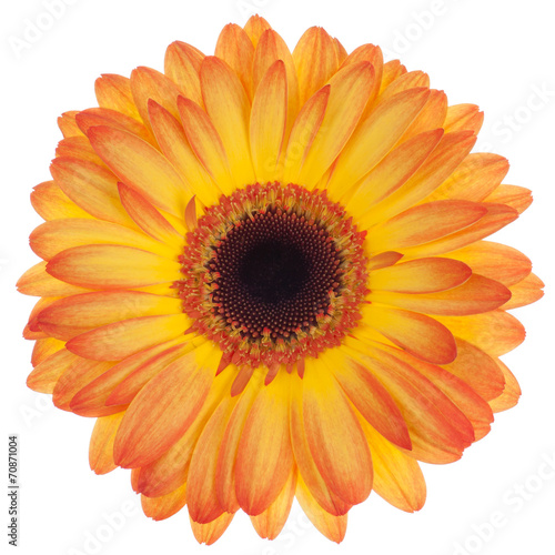 Fotobehang Gerbera Orange gerbera isolated