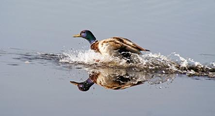 Mallard drake splashes down into natural Wetlands