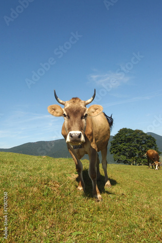 Aluminium cow with beautiful horns on the field