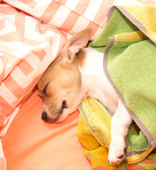 Sleeping Jack Russell puppy