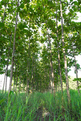 Teak trees planted close together in a line, common in Thailand.