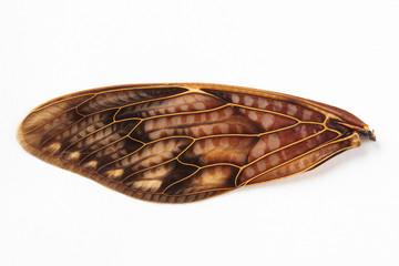 アブラゼミの羽根