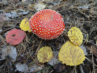 Colorful mushroom Toadstool in the autumn forest
