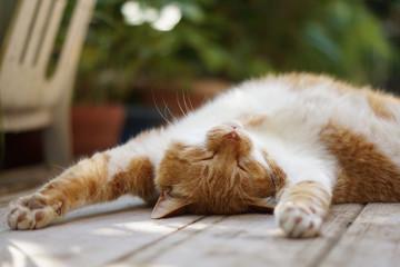 寝転がる茶猫