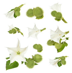 Datura  flower with leaves over white background