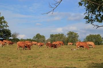 La race bovine.