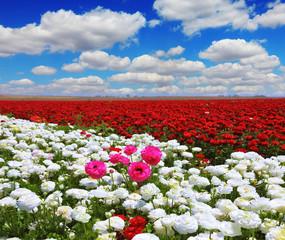 White garden buttercups