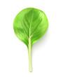 Baby leaf salad, vector illustration